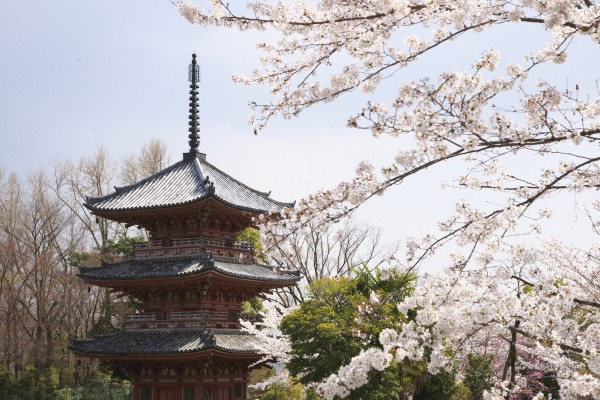 Japanese culture practices Sakura, a tradition in which the end of winter is celebrated in the midst of flowering cherry trees. (Courtesy of Suntory Whisky/MCT)