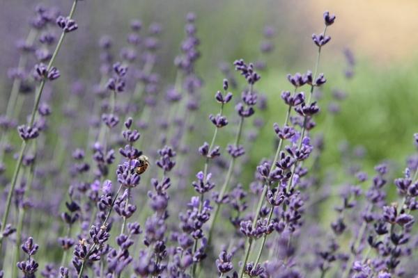 Lavendar, Joannes favorite flower. (PHOTO VIA FLICKR)