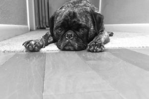 sad-looking small pug dog on the floor in a black-and-white photo