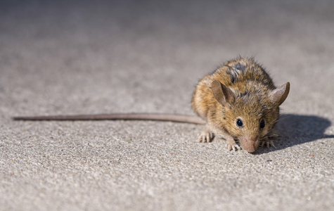 Fordham Research Repels NYC's Rodents