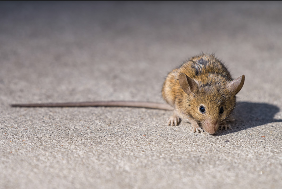 While rats may reign as New York's rodent rulers, Fordham researchers are working to help take back the city from their paws.