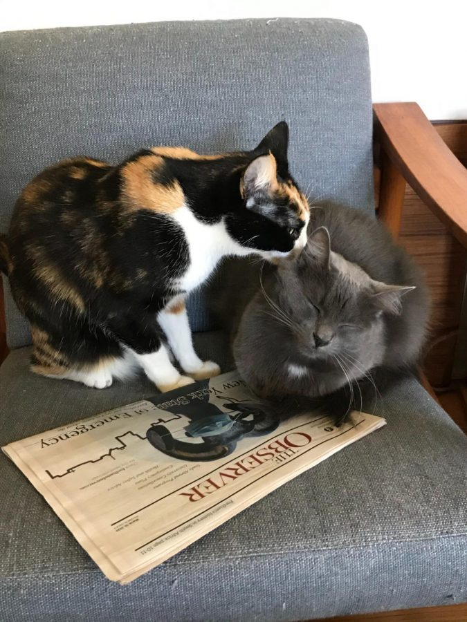 two cats on a chair with an observer newspaper