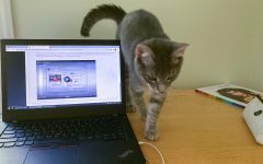 a grey cat walks across a desk next to an open laptop with a fall semester class on the screen